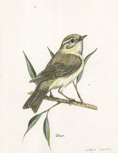 L. Brown - Willow Warbler, Mid 20th Century Watercolour