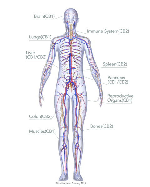 Cannabinoid Receptors in Human Body graphic