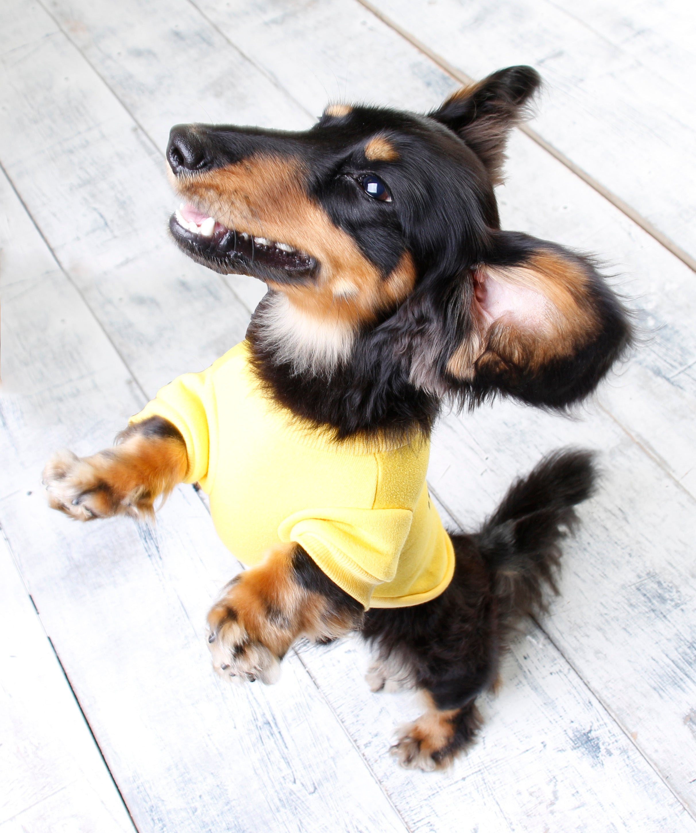 Image of: Photoshoot Sausage Dog Jumpers Dachshunds Clothing Dachshund Jumpers Sausage Dog Central Dachshund Products Wiener Dog World Sausage Dog Jumpers Clothes For Miniature Dachshunds Wiener