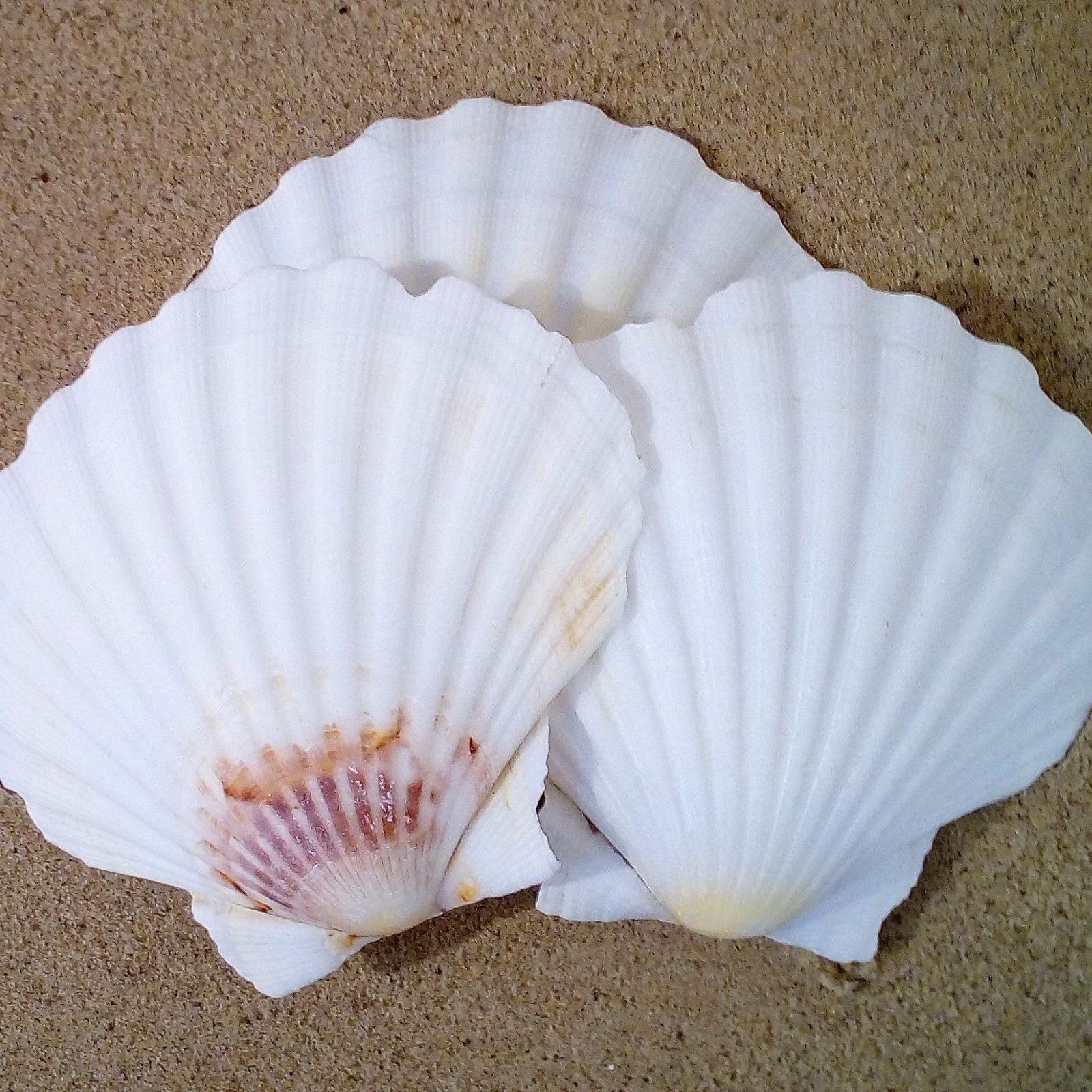 Scallop Shells (Washed) 9 - 11cm