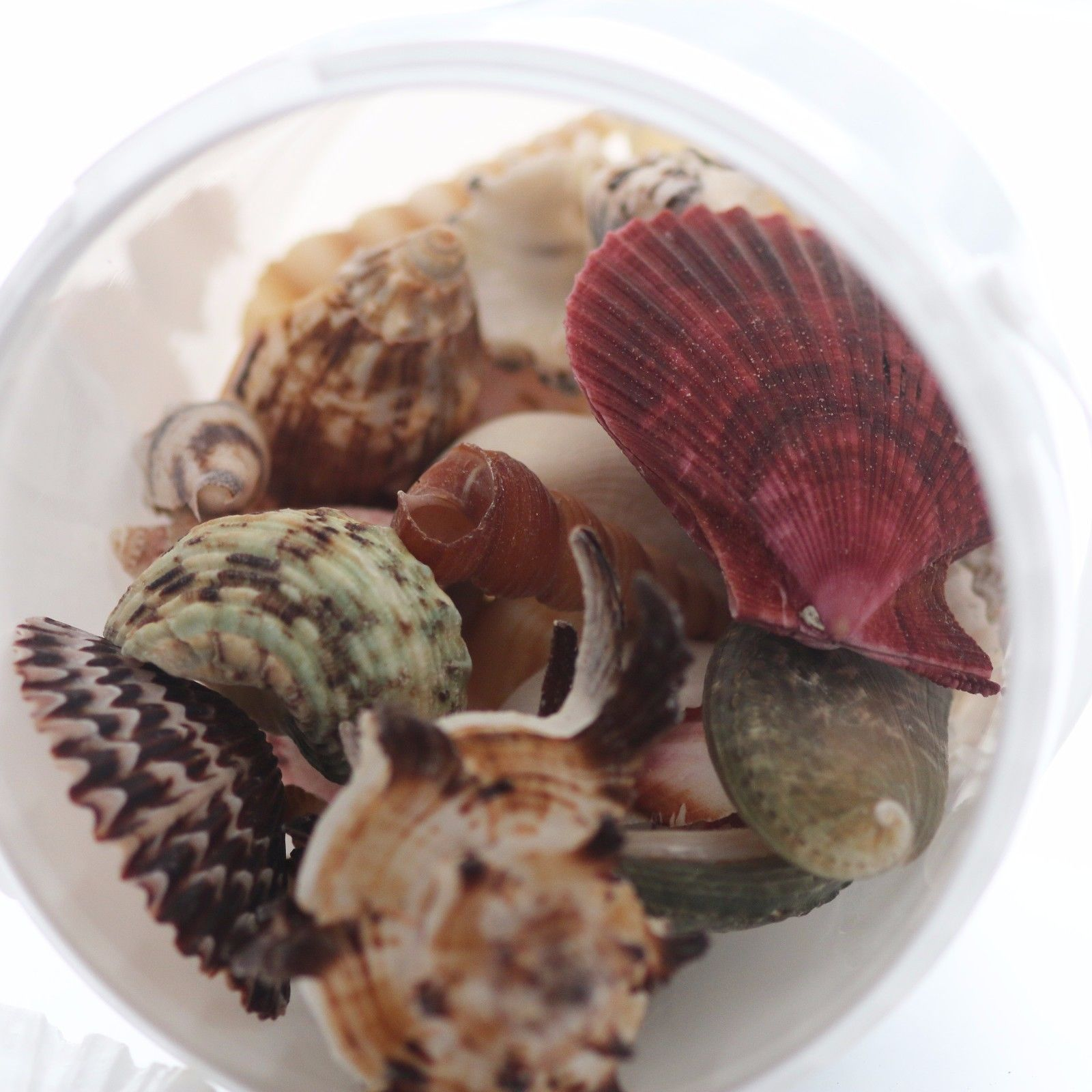 Mixed Sea Shells Large ~ Weights