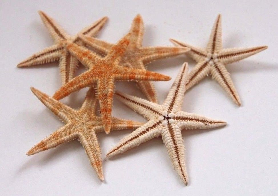 6x Natural Starfish  - 50mm-100mm - Aquarium, Wedding decorations