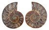 Ammonite Cut Pair