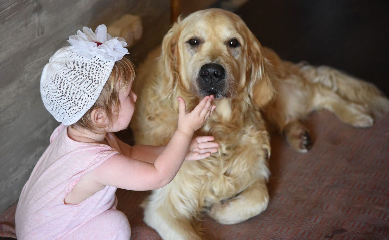 Lovely golden retriever with a baby