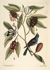 Catesby Natural History of Carolina - Magnolia virginiana and Blue Grosbeak