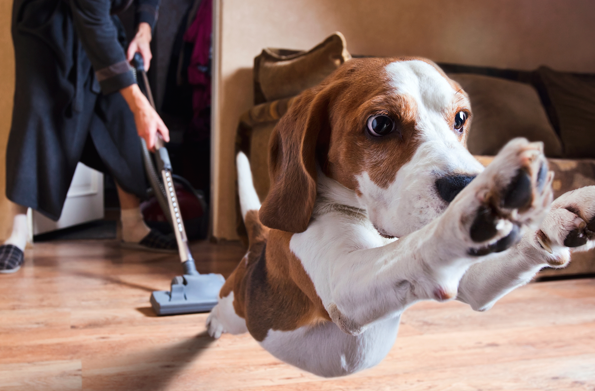 Natural Flea Control for Flea Problems in your home starts with Vacuum, Vacuum, Vacuum!