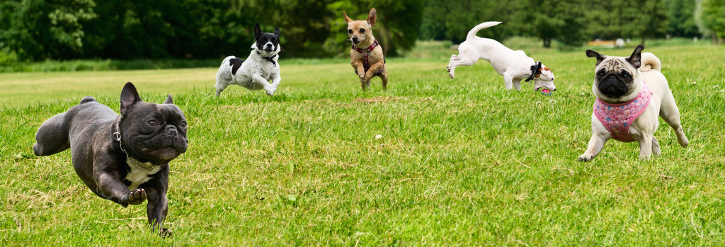 Happy dogs running and jumping on a green field - Dogs For The Earth
