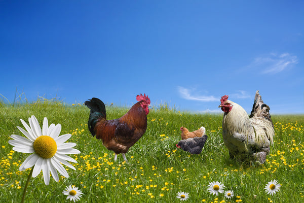 organic pastured raised chickens