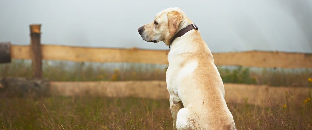 Lab sitting in field