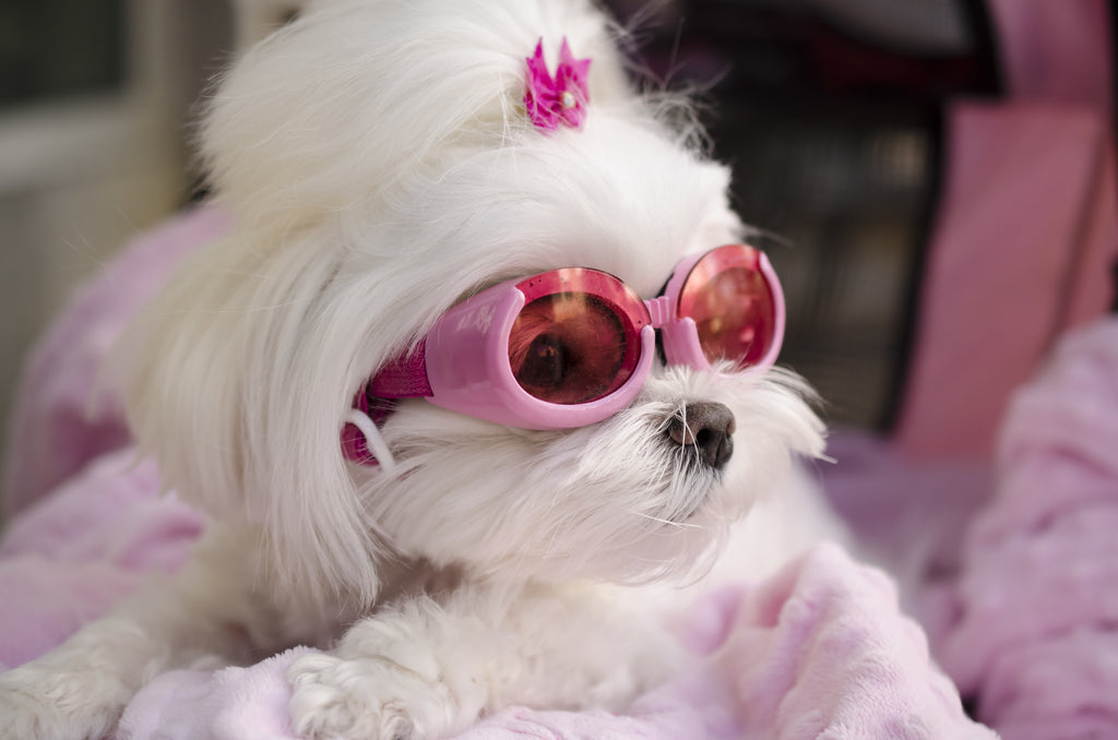maltese in sunglasses dogs for the earth