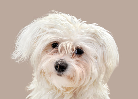 Maltese with tear stains