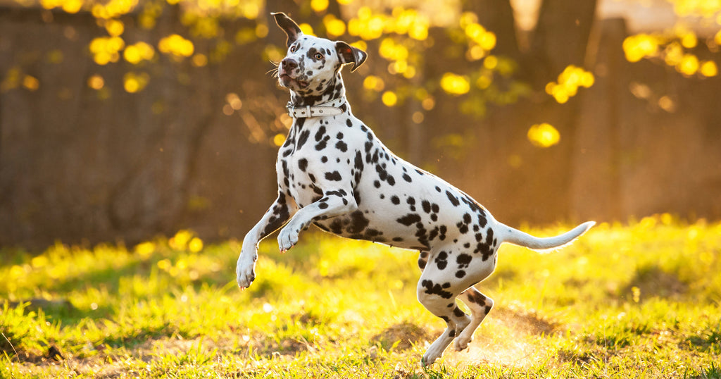 Dalmatian jumping energetically in a garden - because he eats Dogs For The Earth Organic Dehydrated Dog Food