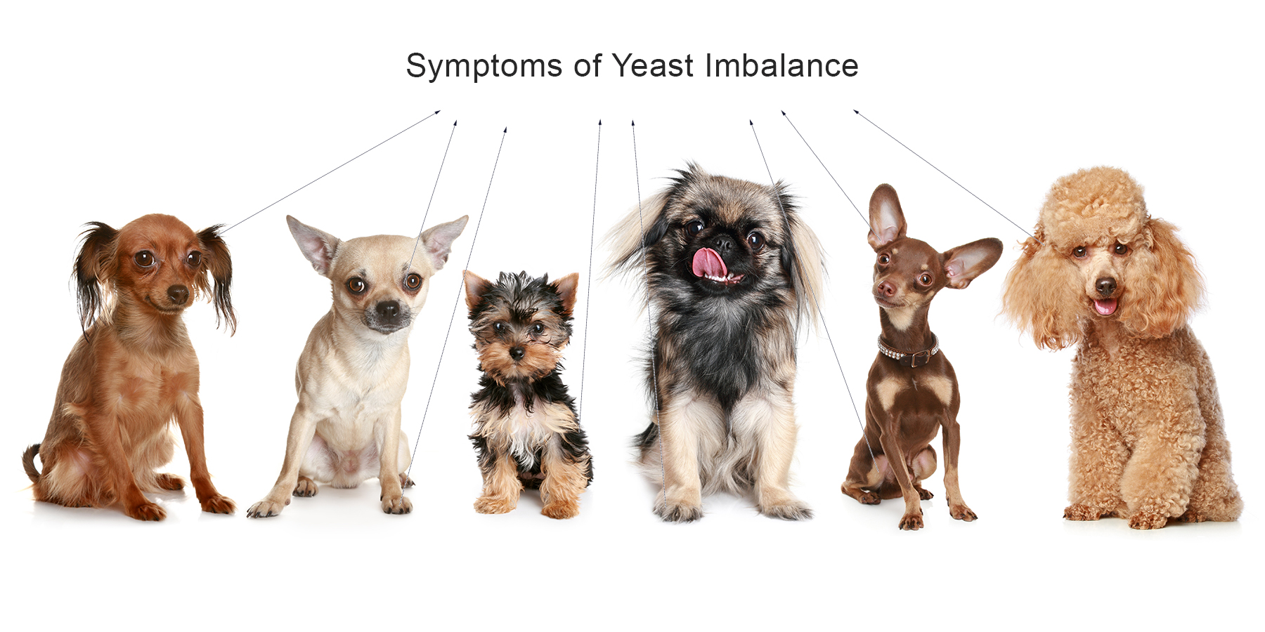 "Image of small dogs with arrows that point to ""Symptoms of Yeast Imbalance"""