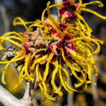 No B.S. Goodness: Witch Hazel