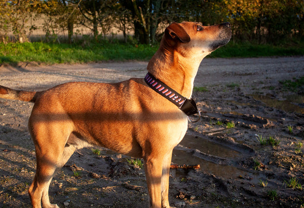 dog wearing a purple and orange martingale collar