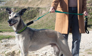 Greyhound wearing martingale leash walking with owner