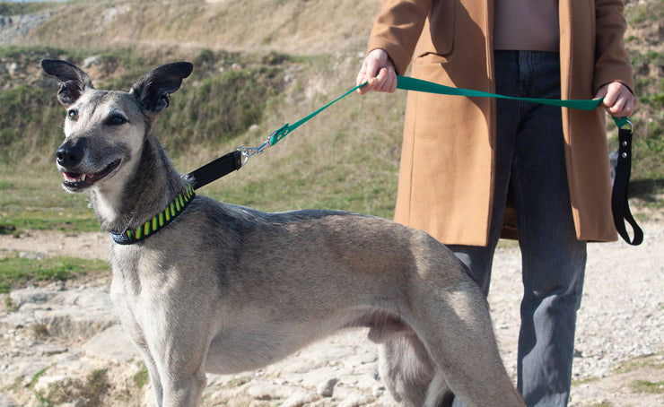 greyhound on lead wearing martingale dog collar