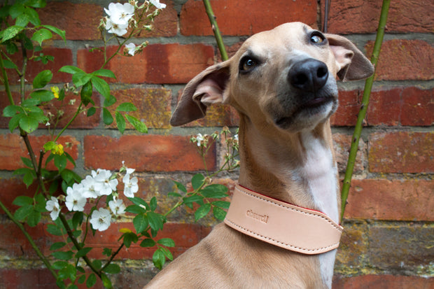 greyhound wearing natural leather hound collar