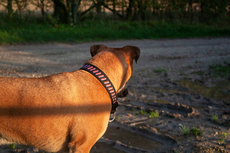 dog wearing wide martingale collar