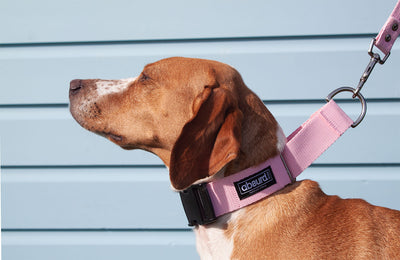 dog wearing pink buckle martingale collar with matching lead