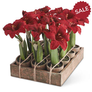 Potted Pine and Potted Amaryllis Plants-christmas-Quinn's Mercantile