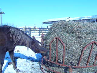 Precious eating at round bale net