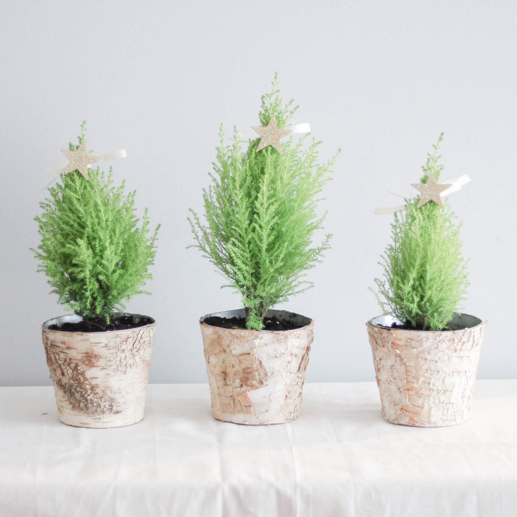 Lemon Cypress Christmas Trees