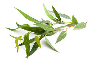 Eucalyptus Essential Oil | Pure Oil
