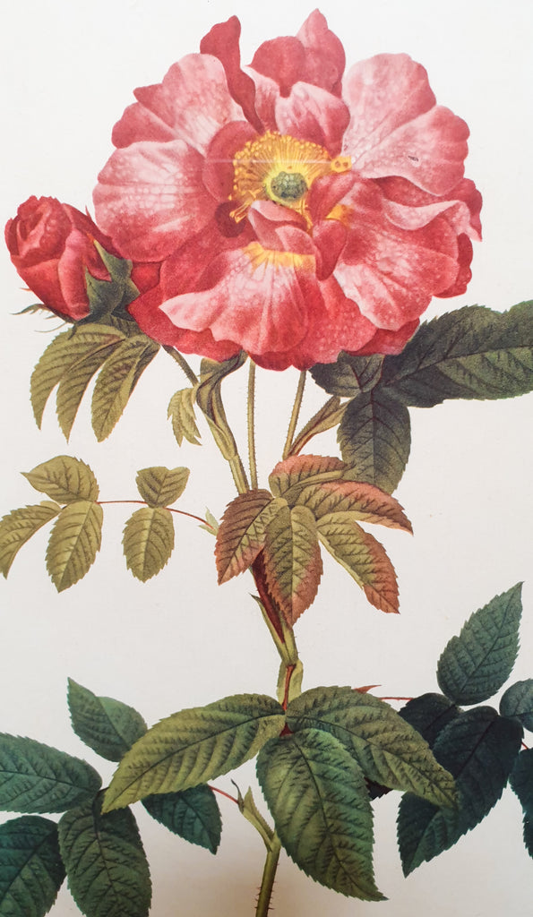 Botanical Print Rosa Gallica by Redoute