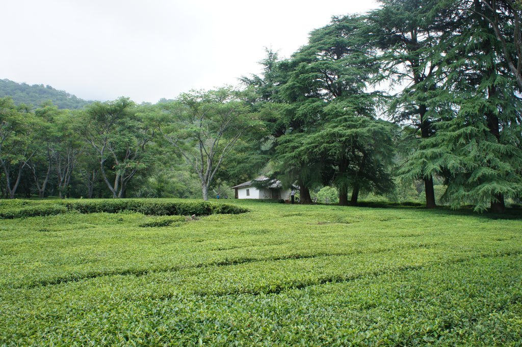 Towa Tea estate