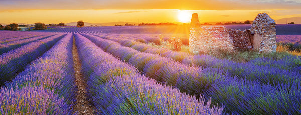 Lavender: A Powerful Tool for Thousands of Years