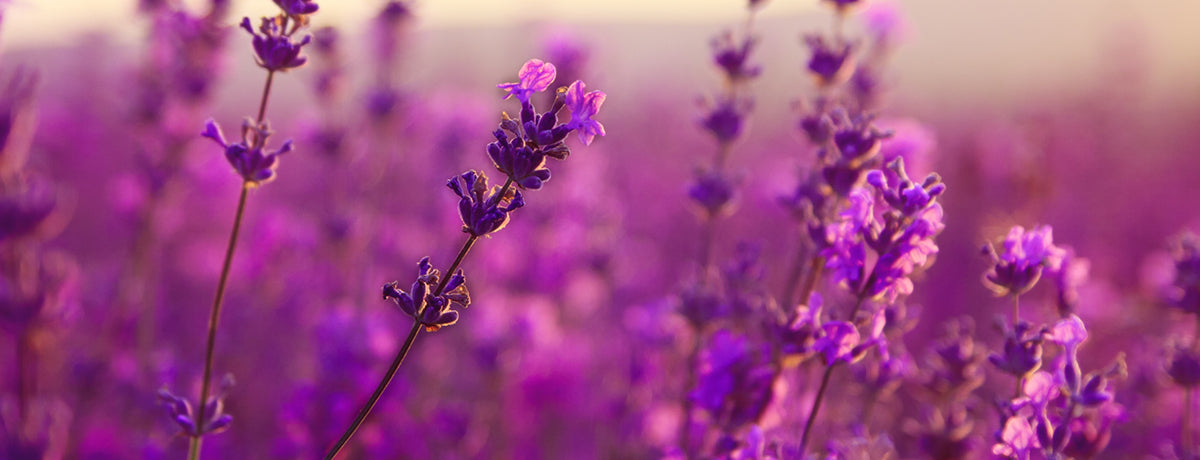 Our Top 5 Ways To Use Lavender Essential Oil