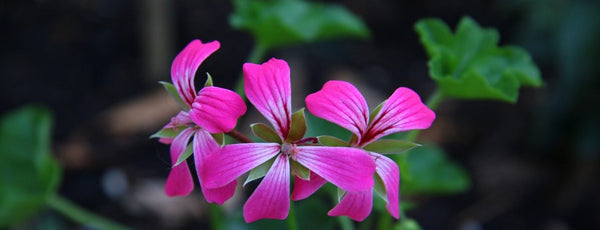 Geranium oil - A Super 'Fly' Essential Oil