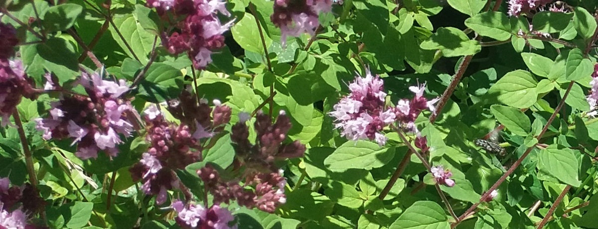 Sweet Marjoram | The Joy Of The Mountain