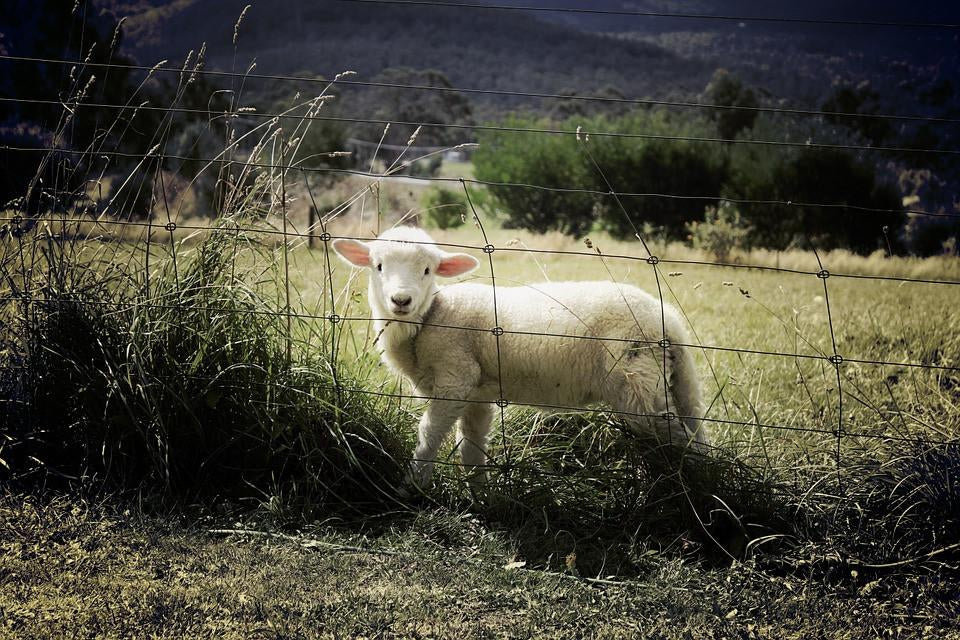 Australia's love affair with wool