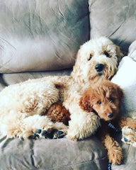 Apricolt Goldendoodle with her new brother