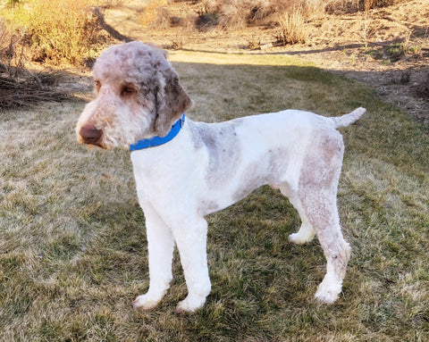 Our Dogs | Doodle Puppy Breeder | Idaho Utah PNW – Sand