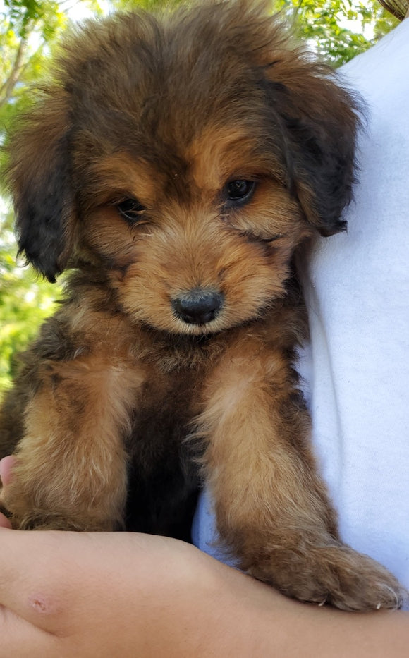 Mini Bernedoodle Puppy Deposit-Exotic