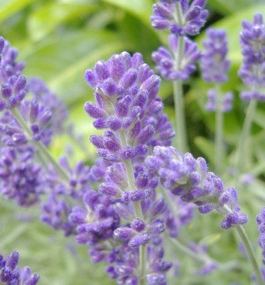 English Lavender Herbs Flower Seeds 20 Finest Seeds - Devshoppe