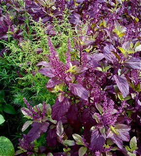 Holy Basil (Ocimum Tenuiflorum) Krishna Tulsi Seeds! Best herb, 50 Seeds Pack - Devshoppe
