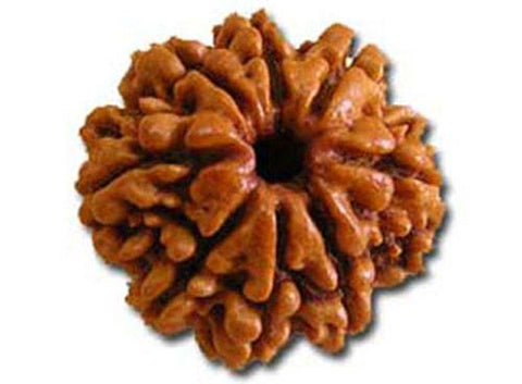 Eight Faced Rudraksha ( 8 Mukhi ) of premium quality - Devshoppe