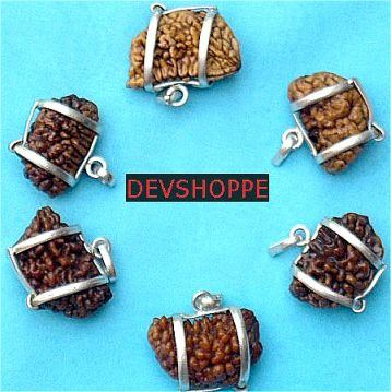 Lot of six pieces of One faced half moon shaped rudraksha - Devshoppe