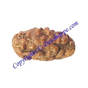 Two Faced Rudraksha ( Do Mukhi / 2 Mukhi ) of Javanese origin - Comes with Lab certificate and X-ray report - Devshoppe