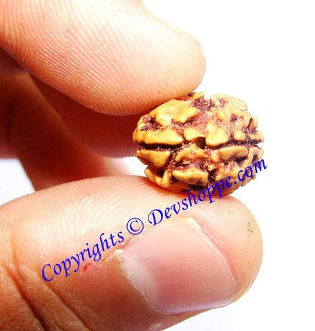 Two Faced Rudraksha ( Do Mukhi ) of Indian origin - Comes with Lab certificate and X-ray report - Devshoppe