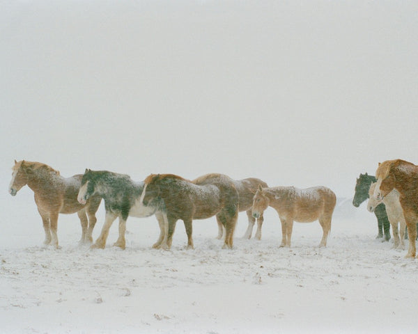 Draft Horses in Snow