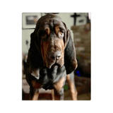 Bonnie Hound Canvas Wraps - The Bloodhound Shop