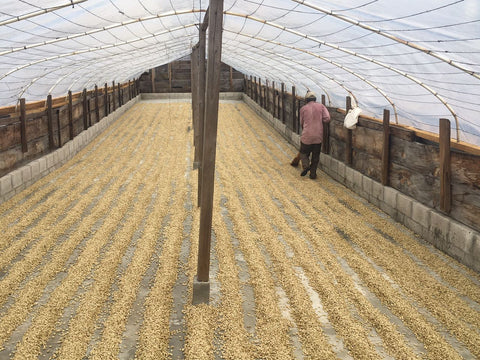 """Elizabeth Ortega / Guatemala drying her coffee as part of the """"washed"""" process."""