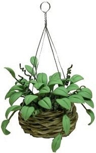 Philodendron in Hanging Basket