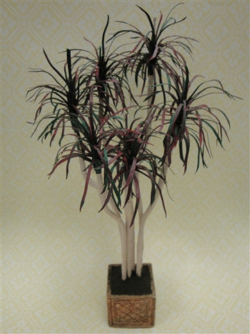 Dracaena, Bicolor, by Steve Costanzo