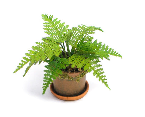 Potted Rabbit Foot Fern